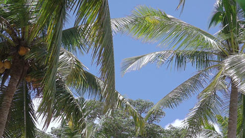 Coconut Palms and Blue Sky 영상물
