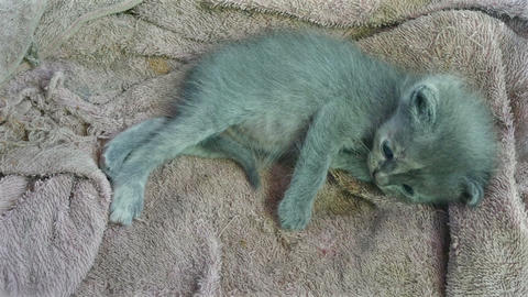 4k two shot, hybrid kitten with gray hair, looks funny Footage