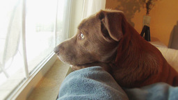 Dog Waits by Window for Owner to Come Home Footage