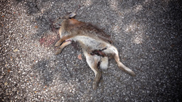 Rabbit Roadkill on Street Footage