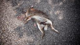 Rabbit Roadkill on Street Footage
