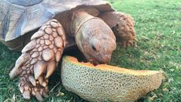 Tortoise Eating Cantaloupe stock footage