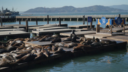 Sea Lions At Pier 39 In San Francisco stock footage