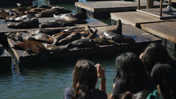 Tourists Take Pictures of the Sea Lions on Pier 39 Footage