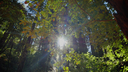 Tall Redwoods of Northern California Footage
