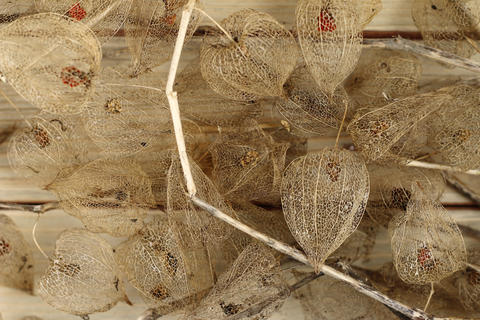 Dried Fruits of the Cape Gooseberry フォト