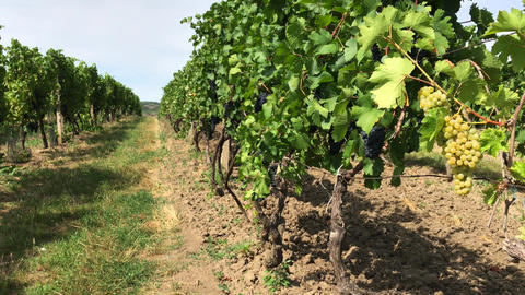 Rows of white and dark grape bunches on vine trunks in vineyard Footage