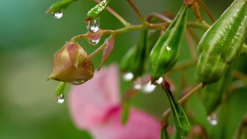 Impatiens glandulifera Royle with raindrops Footage