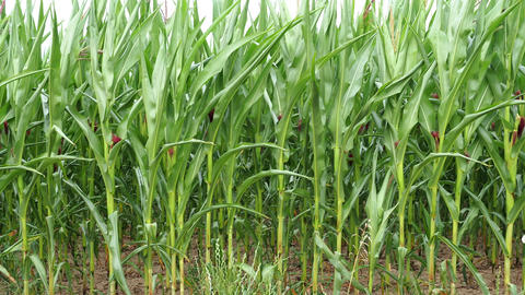 Green field of young corn. Agricultural field of corn. Agricultural crop Live Action