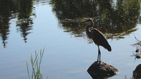 A blue heron watches ducks fly away, flies away itself Live Action