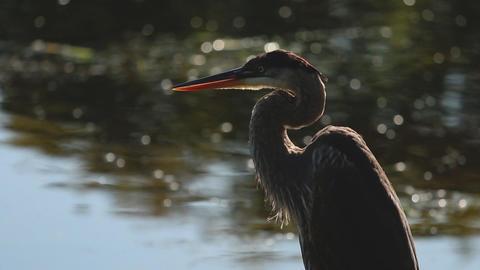 A blue heron preens itself in the sun beside the water ビデオ
