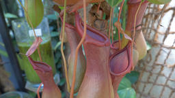 Nepenthes x ventrata. Carnivorous plant Footage