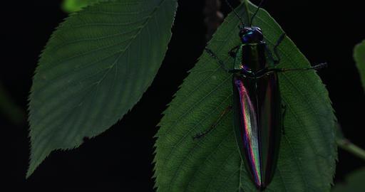 Jewel beetle4 Footage
