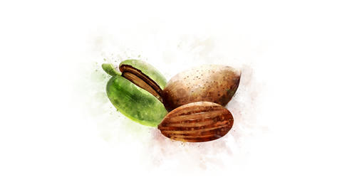 Animation of watercolor drawing of Almond Animation
