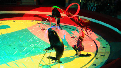 Trained fur seals making show with hoops on arena in circus Live Action