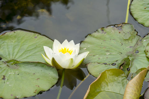 Beautiful white lotus flower on a lake フォト
