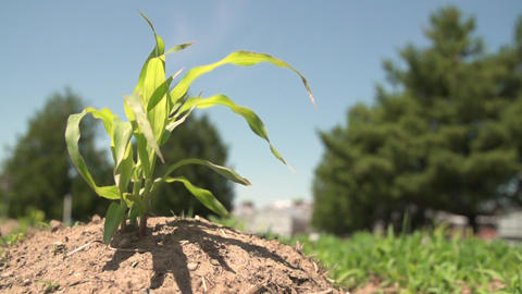 Slow motion wind through young corn plants 영상물