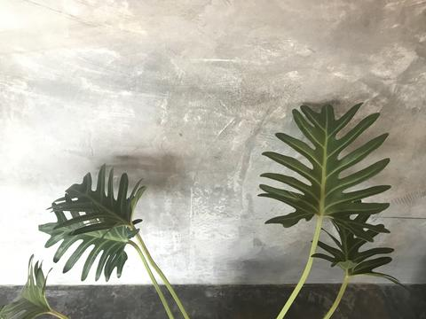 beautiful green pattern of xanadu plant leaves フォト