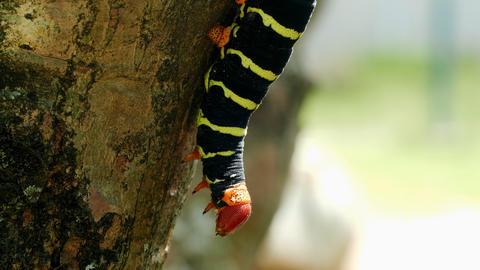 Butterfly Larva Footage