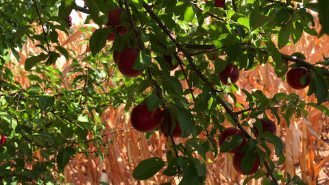 Manual harvesting of red cherry plum fruit Footage
