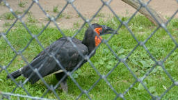 The southern ground hornbill. Bucorvus leadbeateri. Wild animals in captivity Live Action