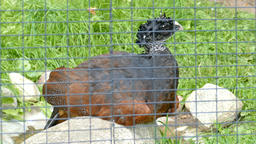 The great curassow. Female. Crax rubra. Wild animals in captivity Live Action