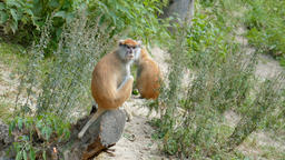 The patas monkey. Erythrocebus patas Live Action