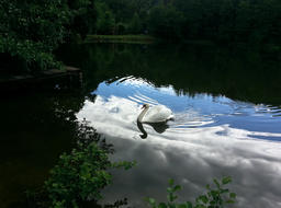 The swan in the reflection of heaven Fotografía
