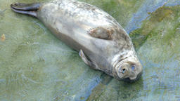 Young baby of grey seal. Halichoerus grypus Live Action