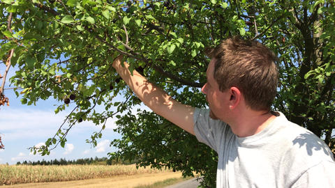 Man reaps a harvest of black cherry plum fruits ビデオ