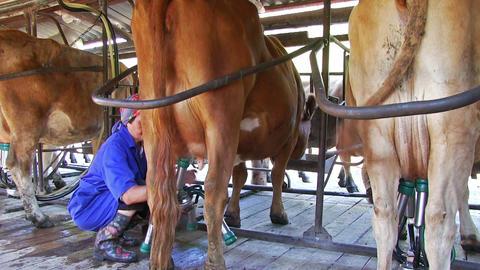 Milk Cattle On Dairy Farm Footage