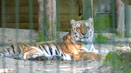 The Siberian tiger (Panthera tigris altaica). Wild…, Live Action