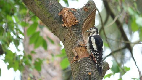 Woodpecker eats a hazelnut in tree Footage