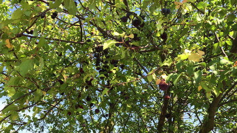 Person reaps dark red cherry plum fruits Footage