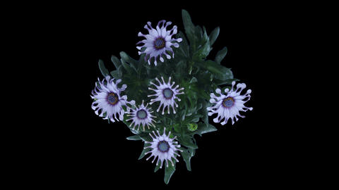 Time-lapse of opening Rain Daisy flowers in RGB + ALPHA matte format, top Footage