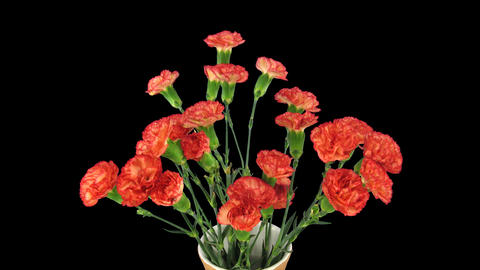 Time-lapse of opening red Dianthus flower, 4K with ALPHA channel Footage