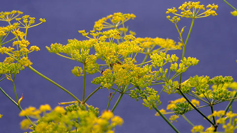 Inflorescence of a yellow flower dill against a blue background Footage