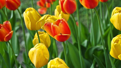 Spring backdrop of Tulip field GIF