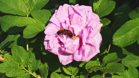 bee collecting pollen on a rose GIF