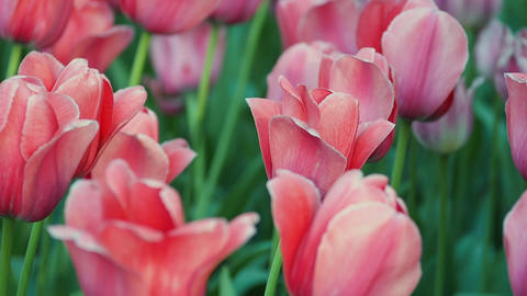 Field of beautiful fresh red tulips GIF