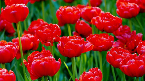 Spring tulips flower field Footage