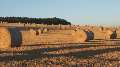 Hay bales on the field after harvest. Agricultural field. Hay bales in golden Live Action