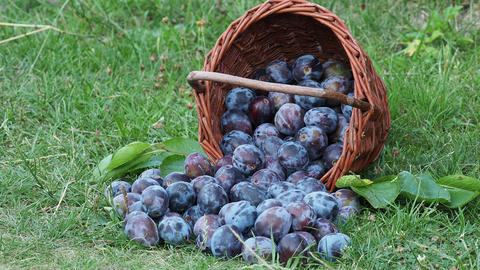 Plum harvest. Plums in a wicker basket on the grass. Harvesting fruit from the Live Action
