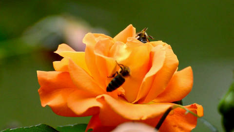 Bees honey bee pollen pollination Footage
