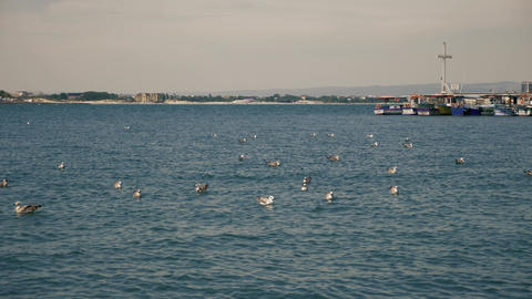 Seagulls on the water near harbor Live Action