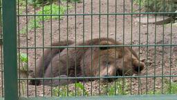 Apathetic, sad brown bear at zoo. Wild animals in captivity. Ursus arctos Live Action