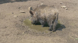 The wild boar in a pool, Sus scrofa Live Action