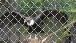 The Andean condor (Vultur gryphus). Wild animals in captivity Live Action