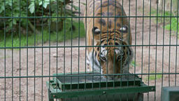 The Siberian tiger drinks water. Wild animals in captivity Footage