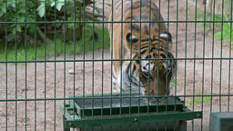 The Siberian tiger drinks water. Wild animals in captivity Stock Video Footage